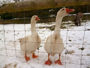 Crazy Geese - one of them tried to bite the donkey causing it to buck.