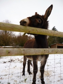 Poor donkey not too happy about sharing his paddock with the crazy geese!