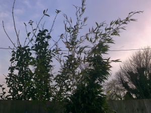 Wind-battered Bamboo