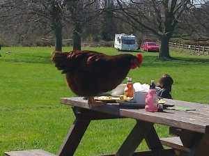 Penny the Chicken eating Lunch