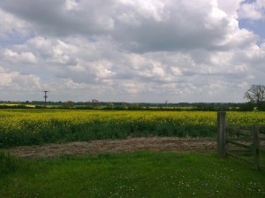 The fields of oil seed rape