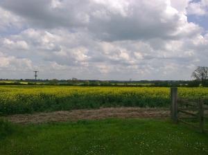 The fields of oil seed rape