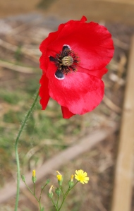 Glorious poppies in the garden