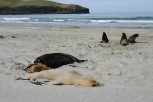 Hooker sea lions