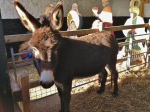 Jolly Joules, part of the Living Nativity at the Farm